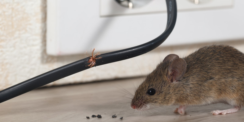 Rodent Extermination in Des Moines, Iowa