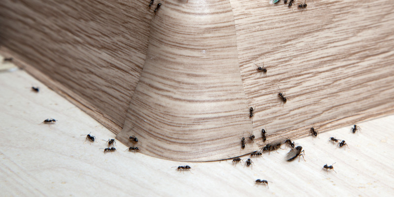Carpenter Ant Removal in Des Moines, Iowa